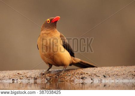 The Red-billed Oxpecker (buphagus Erythrorhynchus) At The Waterhole. African Bird With A Red Beak An