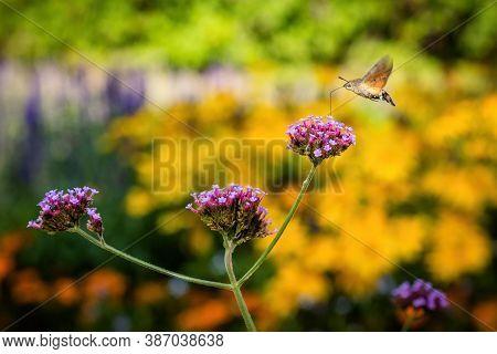 Tiny Hummingbird Hawk-moth Buzzing Around Violet Flowers Sampling Nectar With Its Proboscis. Sunny A