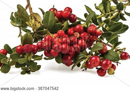 Close Up View Of Red Rowanberry Branch Isolated On White Background.