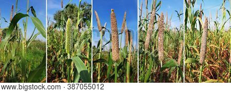 Pearl Millet Growing Up Photo Series Or Time Lapse