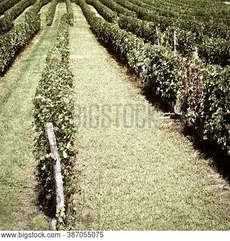 Ripe Black Grapes In The Autumn In Bordeaux, France, Vintage Style Toned Picture