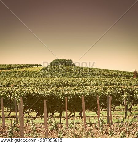 Ripe Grapes In The Autumn In Bordeaux, Vintage Style Toned Picture