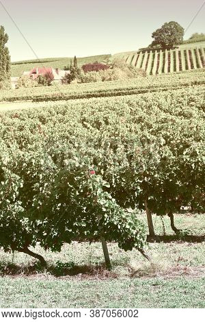 Ripe Black Grapes In The Autumn In Bordeaux, Vintage Style Toned Picture