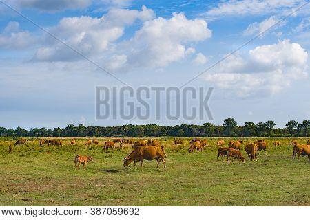 Cows Grazing In Green Meadow In Green Meadow