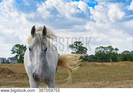 Portrait Of Beautiful White Horse On  Ranch