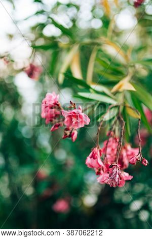 Pink Oleander Flowers On A Branch With Green Leaves, Shallow Depth Of Field.