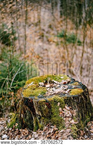 A Stump From A Felled Tree Overgrown With Moss With A Shallow Depth Of Field.