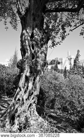 Old Olive Tree Against The Background Of The Walls Of Ancient Jerusalem In Black And White. Unpopula