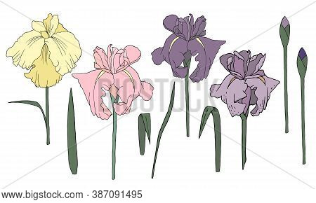 A Set Of Vector Irises. Delicate And Refined Flowers. Bright And Spectacular Purple Flower Buds