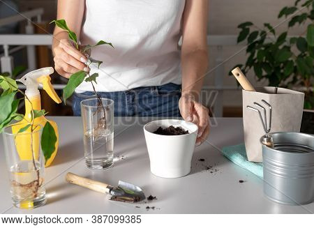 Woman Planting Sprouts Of A Houseplant In A White Pot, Standing On A Table With Garden Tools. Ficus