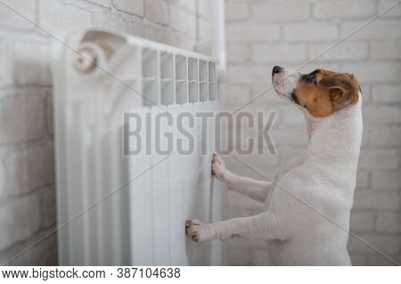 Dog Jack Russell Terrier Has Put Its Paws On The Radiator And Is Warming Up