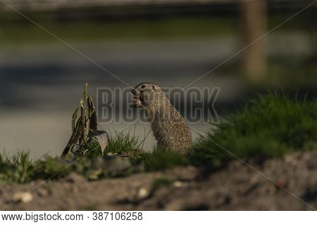 Ground Squirrel Animal In Summer Sunny Hot Morning