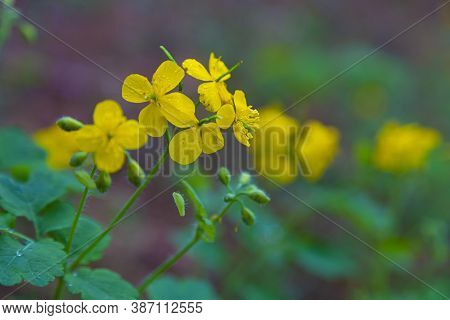 Blooming St. John's Wort, Hypericum Perforatum,  Close-up On A Blurred Natural Background, Selective