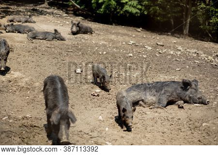 Cute Black Wild Pigs Lying In The Swamp. Photo Of Wild Nature.