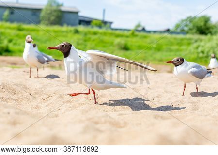 Black-headed Gull, River Gull, Chroicocephalus Ridibundus. A Group Of Birds On The Beach. River Coas