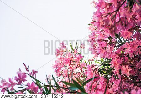 Pink Oleander Against Bright Sky With Copy Space