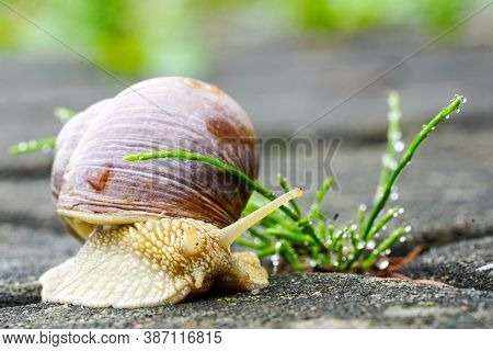 Big Snail, Helix Pomatia Also Roman Snail, Burgundy Snail, Edible Snail Or Escargot