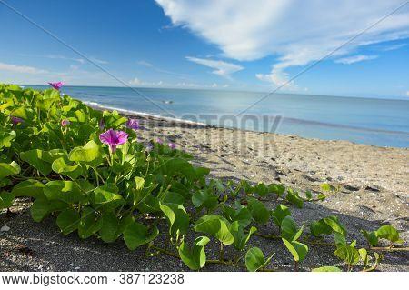 Magenta Morning Glory Growing Along The Beach At Siesta Key Florida