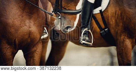 Equestrian Sport.nose Sports Brown Horse In The Bridle.two Sports Horses.the Leg Of The Rider In The
