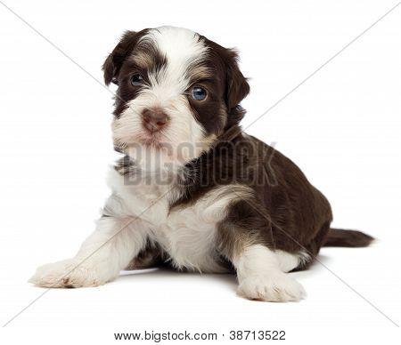 Cute Little Havanese Puppy
