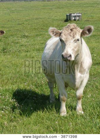 A White Cow In A Farm Paddock Near Sth. West Rocks, Nsw.