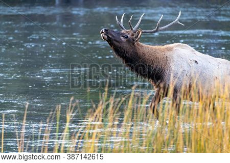 Beautiful Bull Elk Emerges And Bugles From The Madison River In Yellowstone National Park During The