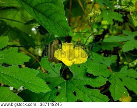 Sponge Gourd Flower Or Luffa Cylindrica Flower Angled Loofah, Luffa Acutangula