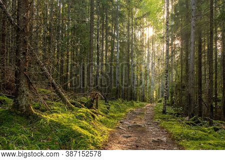 Mystical pine and fir trees forest with green moss in Finland. Dense and dark forest landscape.