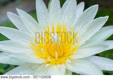 Close-up Shot Of Lotus Flowers In A Lotus Pond That Always Looks Clean. Blurring Out The Green Backg