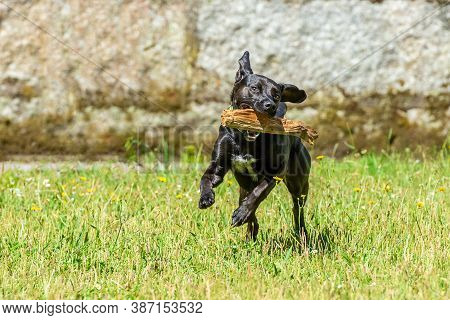 Black Smooth-haired Dog Runs With A Stick In His Teeth On The Green Grass, Bright Sunny Day