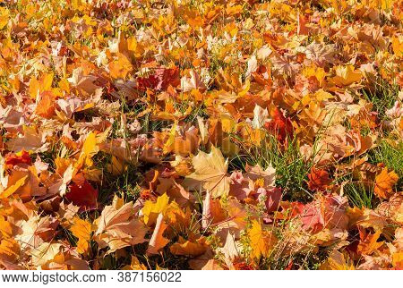 Part Of The Glade Covered With Varicolored Fallen Maple Leaves On Grass At Autumn Sunny Day, Backgro