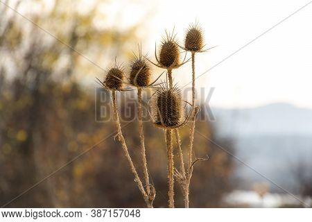 Dew Drops On A Dry Thorn. Dry Inflorescence Of Thistle In The Web And Drops Of Roses. Plain Backgrou