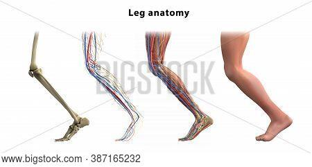 Leg Anatomy. Bones, Muscles, Veins Of The Human Leg. Vector Illustration.