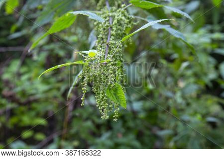 Urtica Dioica, Often Called Common Nettle Or Stinging