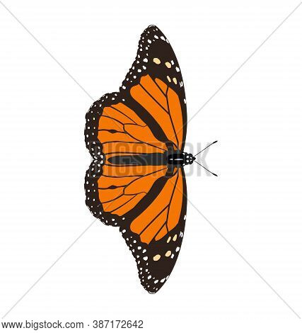 Danaus Cleophile - Jamaican Monarch - Male - Dorsal View - Flat Vector Isolated