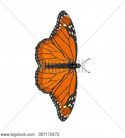 Danaus Erippus - Southern Monarch - Male - Dorsal View - Flat Vector Isolated