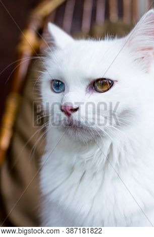 A Close Up Portrait Of A Young Heterochromic Or Odd-eyed White Fur Domestic Cat
