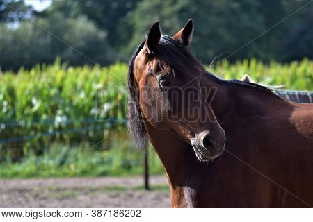 A Portrait Of A Horse Looking Back, Aginst A Background Of A Cornfield And Trees