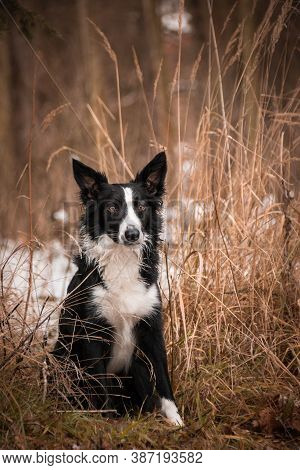Border Collie In Grass In Frozen Nature.  Photo From Czech Castle Konopiste.  It Was Amazing Experie