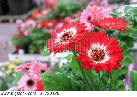 Red-white Flowers Of Gerbera Or Transvaal Daisy On A Background Of Green Foliage.