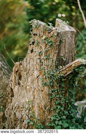 An Old Tree Stump In The Forest Entwined With Curly Ivy With A Shallow Depth Of Field.