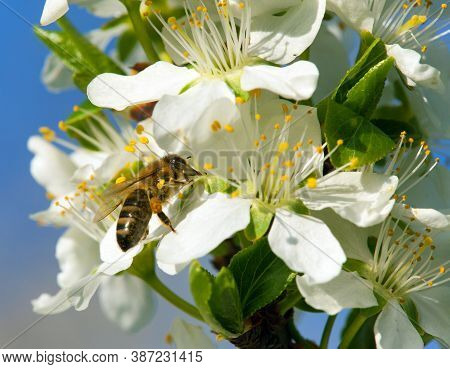 Bee Or Honeybee On White Plum Tree Flower, Honey Bee Is In Latin Apis Mellifera, Springtime View