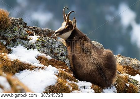 Tatra Chamois Lying On Mountains In Winter Time.