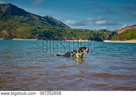 Dog In A Lake Coming Out Of The Water With A Ball