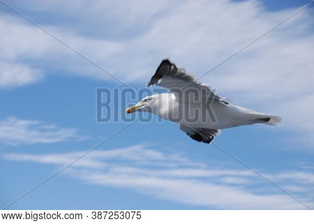 Seagull outdoors sea fly freedom Close-up photo of a seagull flying in the blue sky along the coast of Chile