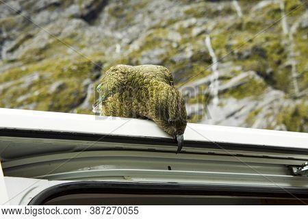 Kea Parrot Breaks Down The Car. South Island, New Zealand.