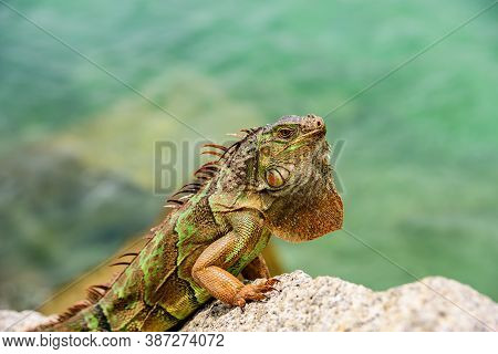 Close Up Head Of Iguana Dragon. Green Iguana, Also Known As The American Iguana, Lizard Of The Genus