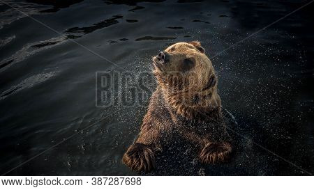 The Brown Bear Shakes Off The Water,the Bear Swims On The Water In The Wild.