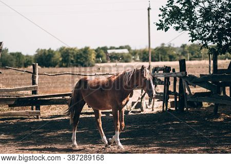 A Beautiful Thoroughbred Brown Horse Stands Behind A Wooden Fence In A Paddock. Horse Farm. Red Thor