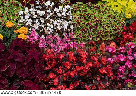 Geometric Planting Of Ornamental Plants Coleus, Begonia. Natural Floral Background, Even Rows Of Bri
